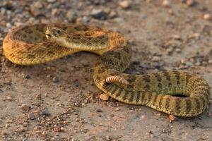 Loài rắn có nọc độc đáng sợ nhất thế giới