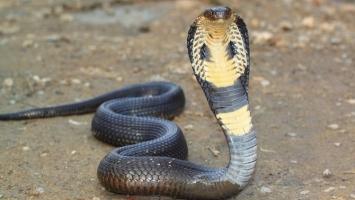 Loài vật có nọc độc nguy hiểm nhất thế giới