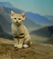 Loài mèo hiếm nhất thế giới