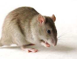 Mẹo đuổi chuột đơn giản