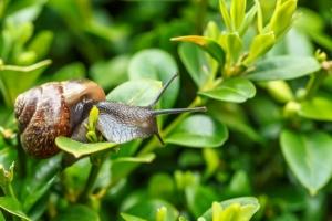 Mẹo nhỏ giúp loại trừ ốc sên ra khỏi vườn rau nhà bạn