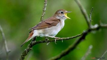 Loài chim cảnh phổ biến nhất Việt Nam