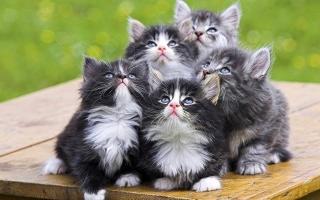 Loài mèo dễ thương nhất thế giới
