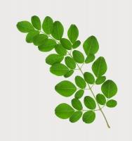 Tác dụng tuyệt vời cho sức khỏe của cây chùm ngây