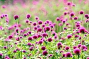 Thiên đường hoa nở vào tháng 10 đẹp nhất Việt Nam
