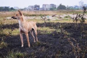 Thông tin về loài chó hiếm và đắt nhất trên thế giới mà Việt Nam đang sở hữu