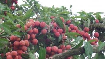 Loại  trái cây có giá trị kinh tế cao ở Việt Nam