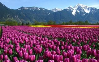 Màu sắc đẹp nhất của hoa Tulip và ý nghĩa của chúng