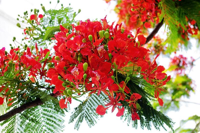 Top 17 bài văn tả cây phượng và hoa phượng hay nhất