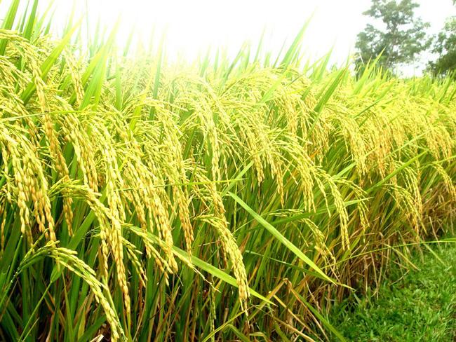 Top 7 dàn ý bài văn thuyết minh về cây lúa chi tiết nhất