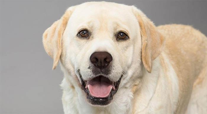 Top 10 giống chó thân thiện nhất với gia đình và trẻ nhỏ