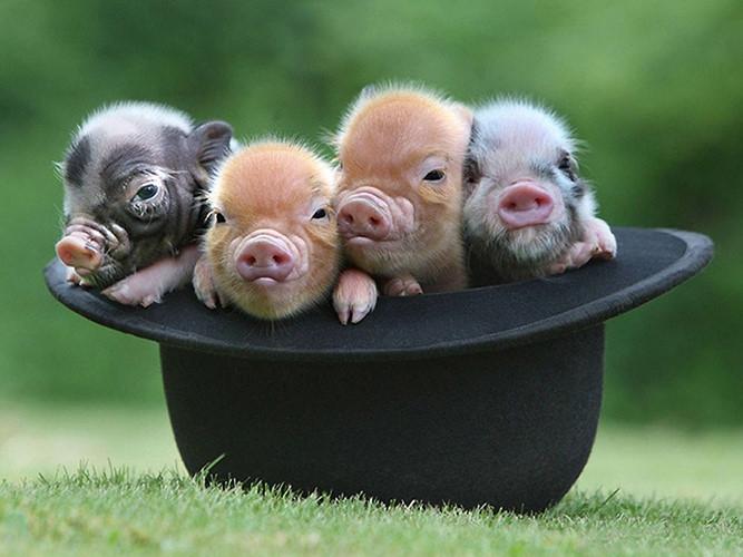 Em rất thích chú lợn của nội nuôi vì chú rất đáng yêu và thật ngộ nghĩnh.