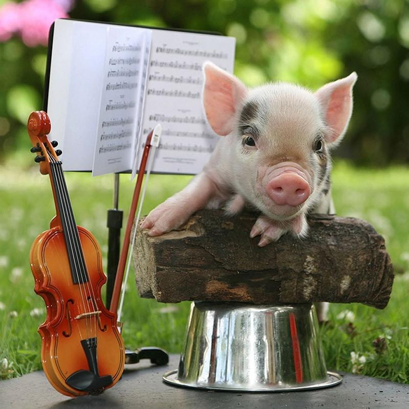 Chú lợn luôn tạo ra những thứ mà mỗi khi ngắm nhìn nó thì cũng có thể nằm cười lăn cả ngày.