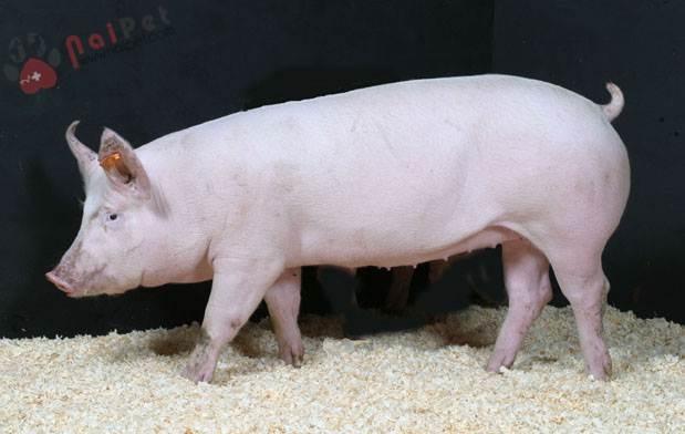 Để cho lợn chóng lớn, mẹ em cho lợn ăn cám trộn với rau, với chuối, đôi khi còn thêm cả cá khô.