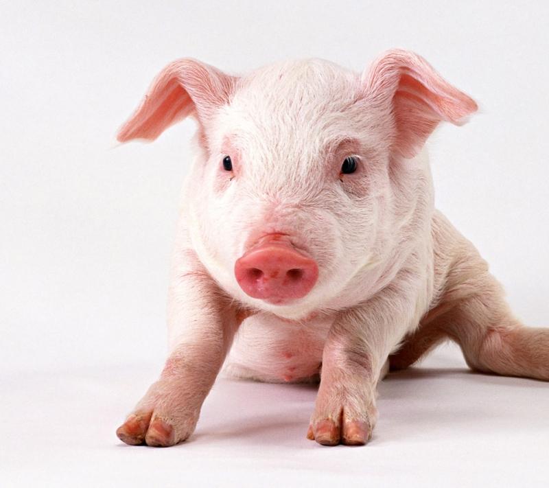 Con lợn có màu da trắng hồng.