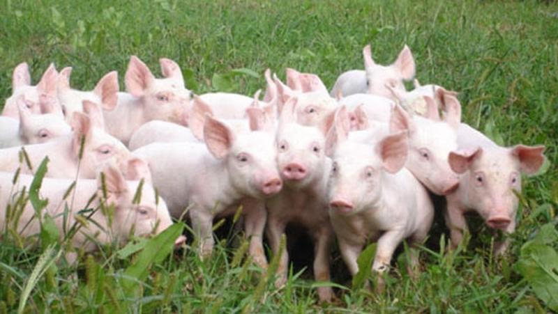 Từ sau lần thăm trang trại lợn nhà bác em, em thêm yêu quý những chú lợn hơn.