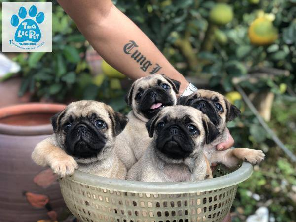Top 7 địa chỉ mua chó Pug uy tín tại Hà Nội