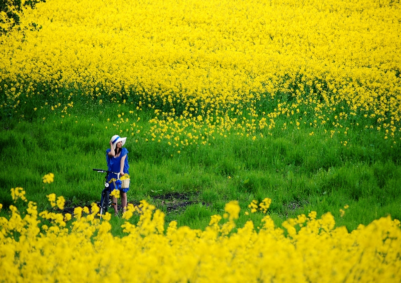 Cánh đồng hoa cải ở sông Đuống - Gia Lâm - Hà Nội