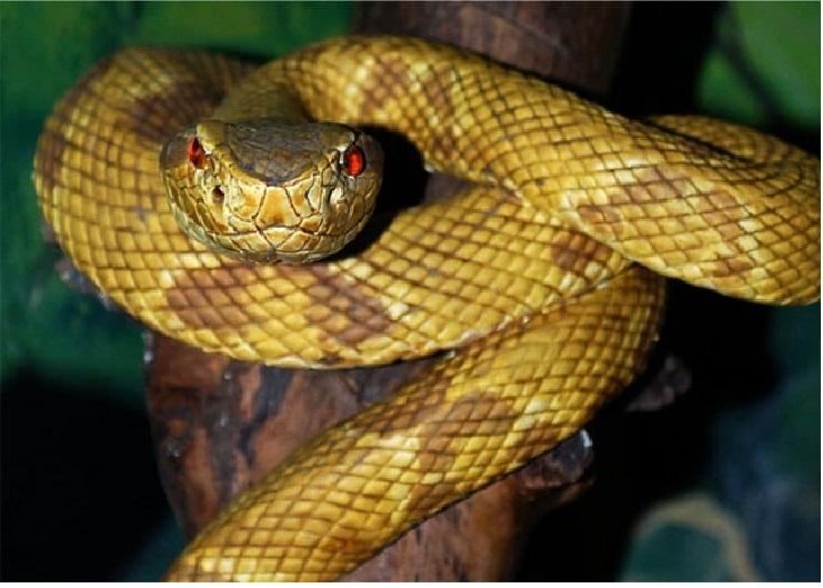 Hình ảnh rắn hổ lục đầu vàng trưởng thành ở đảo Rắn