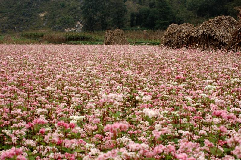 Đồng hoa tam giác mạch Hà Giang
