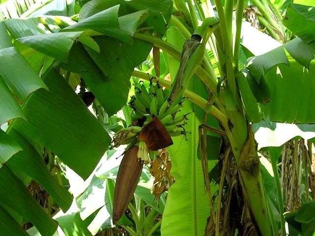Cây chuối hương trong vườn nhà ngoại