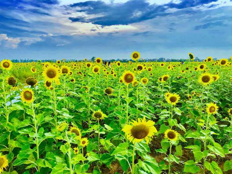 3 cánh đồng hoa ở Vũ Thư