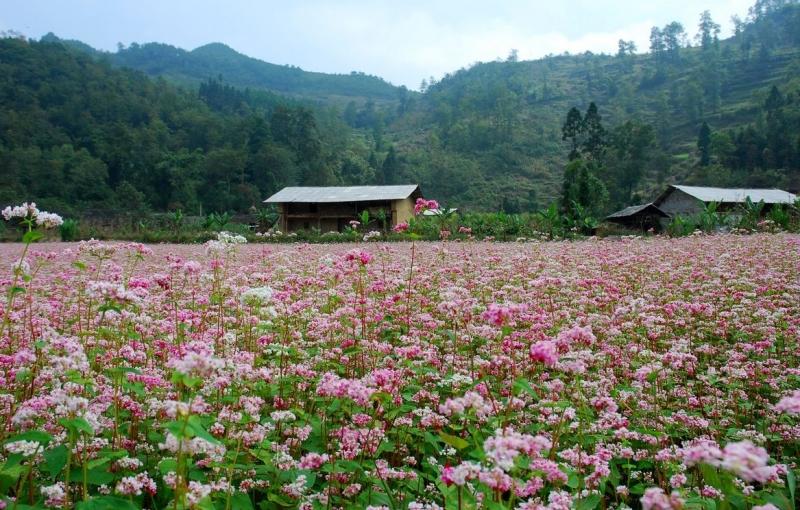 Cánh đồng hoa Tam Giác Mạch - Hà Giang