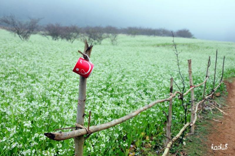 Hoa cải trắng tinh khôi ở Mộc Châu
