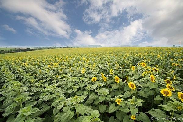 Cánh đồng hoa hướng dương - Nghệ An