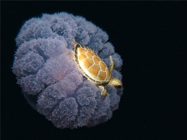 Chú rùa đang vùng vẫy trên lưng sứa