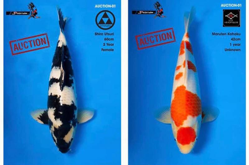 ABKoi-Koi Fish From Japan