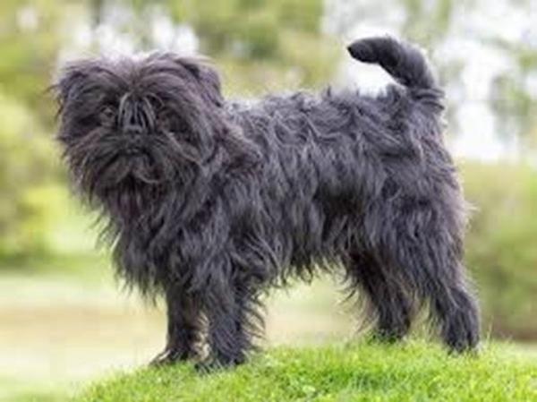 Ngoại hình nhỏ, lông xù dài che kín mặt, đen ngòm trông khá đáng sợ nhưng đây lại là một con vật dũng cảm