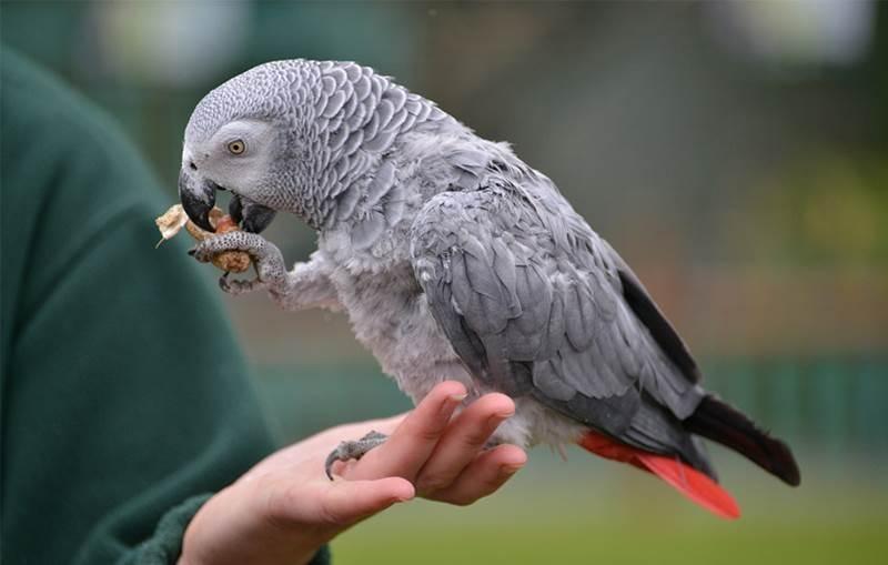 Loài chim thông minh này không chỉ nghe, hiểu mà còn có thể bắt chước giọng nói của con người rất tốt