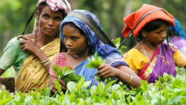 Ấn Độ đứng thứ 2 thế giới về sản xuất trà