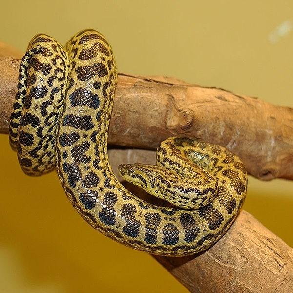 Anaconda Vàng