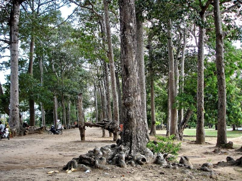 Hàng cây cổ thụ xung quanh ao Bà Om