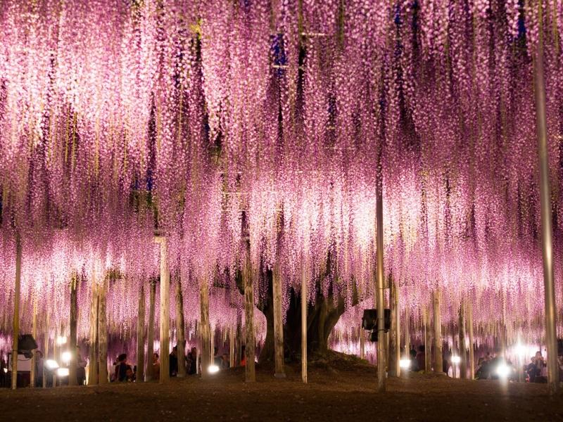 Ashikaga Flower Park: Ashikaga, Nhật Bản