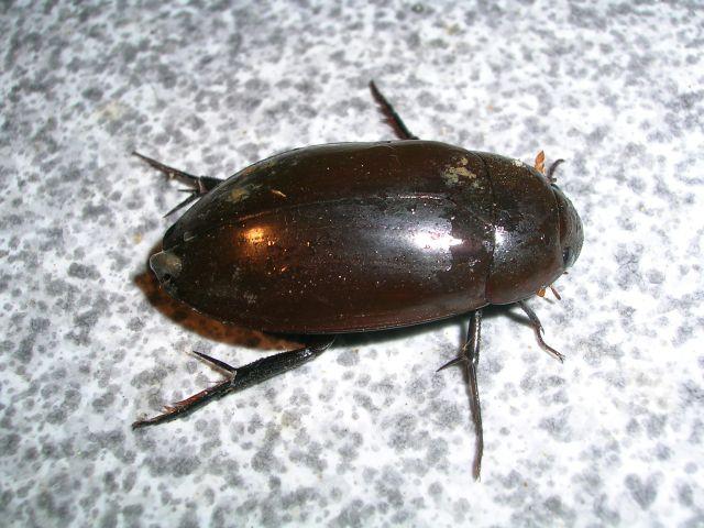 Bọ nước Dytiscidae