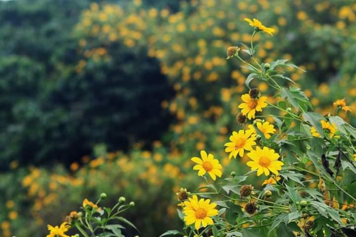 Hoa dã quỳ rực rỡ tại vườn quốc gia Ba Vì
