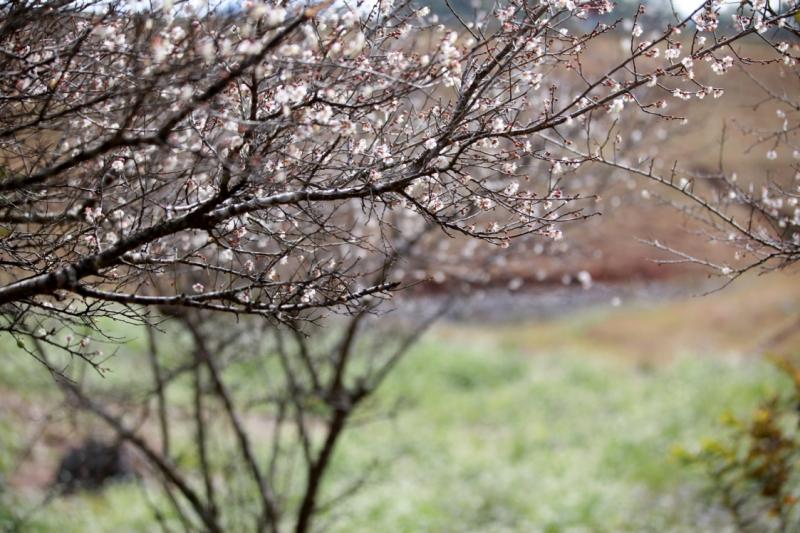 Mùa hoa mận nở trắng các con đường