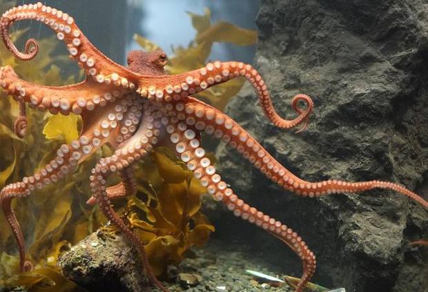Bạch tuộc là động vật không xương sống thông minh nhất dưới đại dương