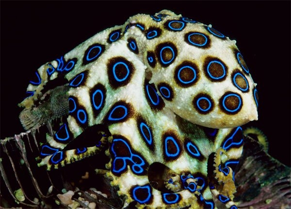 Bạch tuộc đốm xanh
