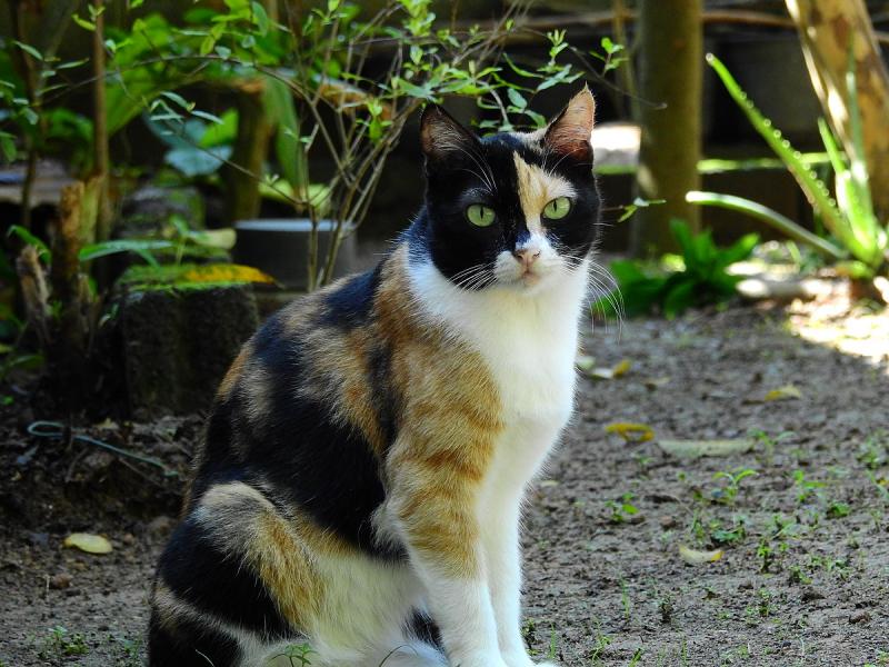 Chú mèo mà em nuôi có một bộ lông tam thể rất đẹp