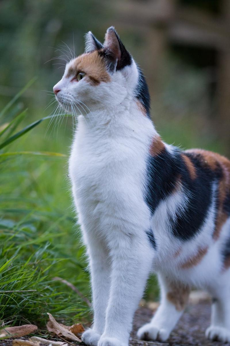 Meo Meo là một chú mèo tam thể có bộ lông gồm ba màu trắng, đen, vàng rất đẹp