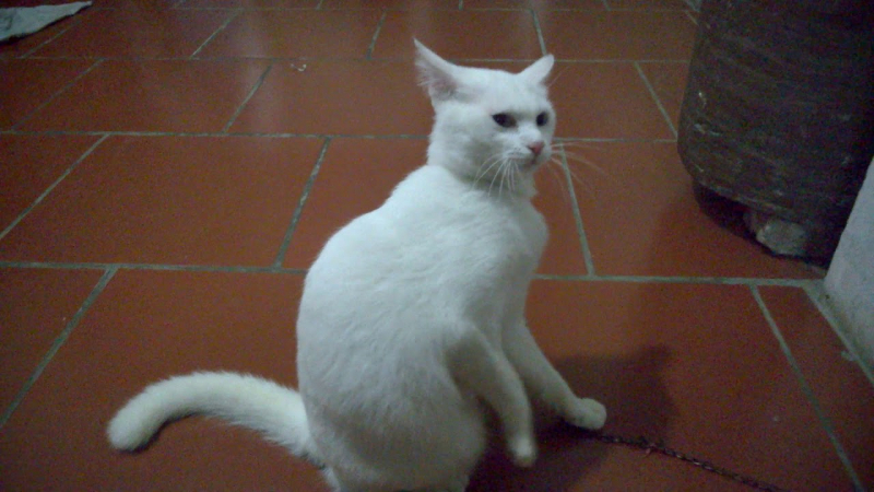 Nori có một bộ lông trắng muốt, mượt và sạch sẽ