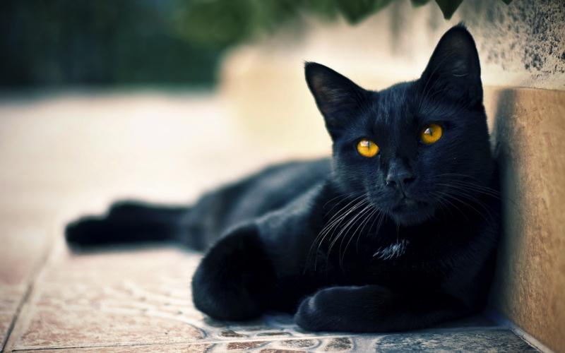 Nó có bộ lông đen tuyền, óng ả, mượt mà được chăm chút kĩ lưỡng