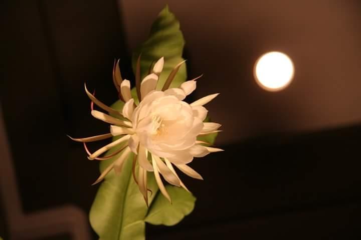 Top 15 Bài thơ hay về hoa Quỳnh