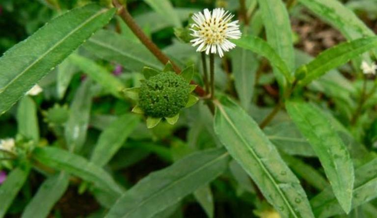Bài thuốc chữa viêm xoang từ cỏ nhọ nồi