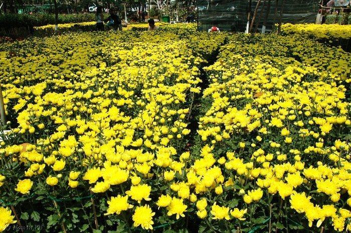 Vườn hoa cúc mùa thu