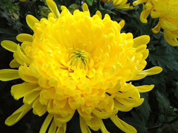 Mùa thu của em - Là vàng hoa cúc
